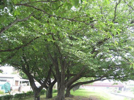 800px-sakura_trees