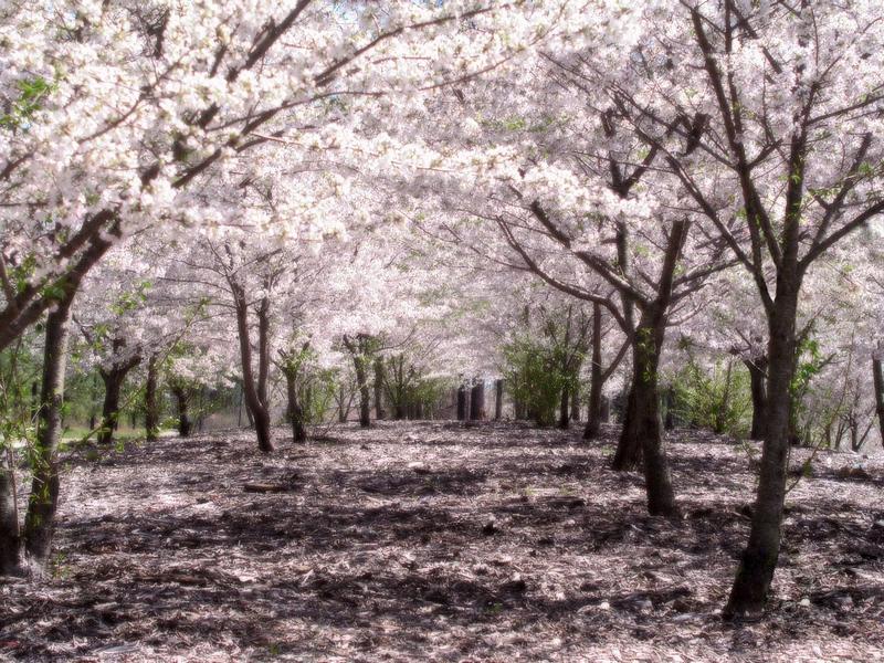 93+ Gambar Animasi Bergerak Bunga Sakura Gugur Terlihat Keren